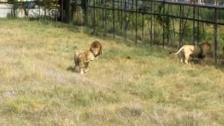 Разборки диких львов в зоопарке Тайган.