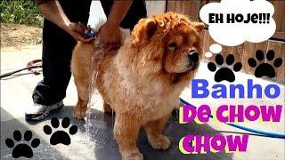 Como dar Banho em um Chow chow em Casa - Vida de Cão