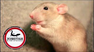 Джуманджи. Животные в мегаполисе. Крысы