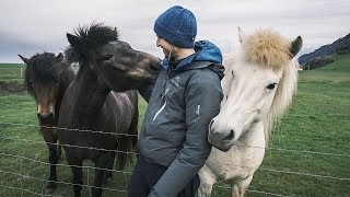 Making friends with cute icelandic horses