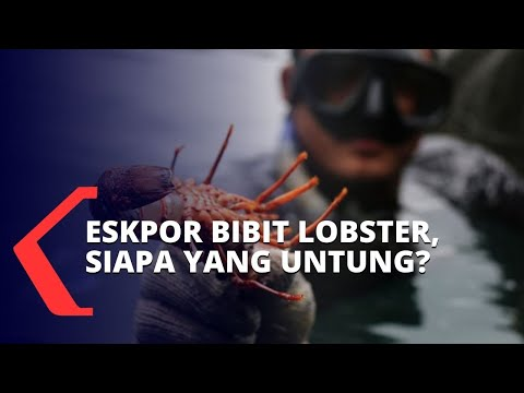 komisi iv dpr ekspor benih lobster cermin kemiskinan negara kompetitor diuntungkan