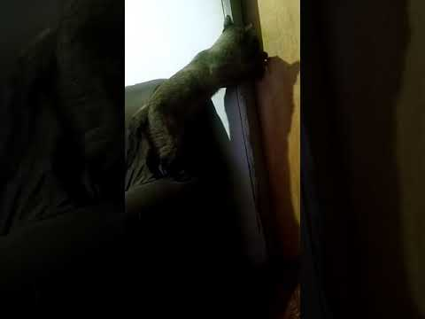 Gato abre porta  (Croiss)terrível