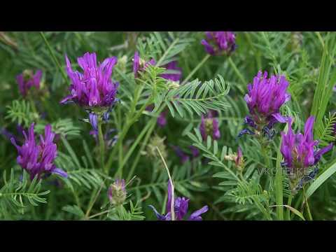 Всё о полезной траве Астрагал и её лечебных свойствах! All about the beneficial herb Astragalus!