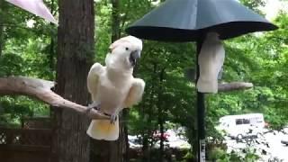 Приколы с попугаями! Забавные попугаи!