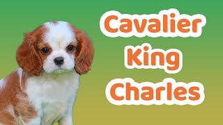 Cavalier özellikleri, Bakımı, Beslenmesi, Sağlığı Ve Eğitimleri