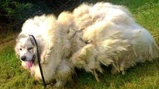 Dog Neglected For Years Finally Gets A Haircut That Uncovers His Real Identity