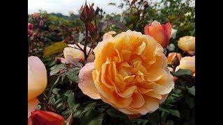 David Austin Rose - Lady Emma Hamilton - Glorious English Rose With A Delicious Fragrance