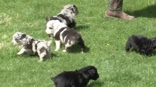 Merlin Miller's Mini Aussie Doodle Pups