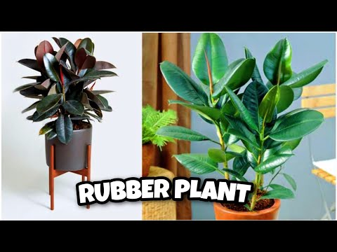, title : 'How to Care For Rubber Plant [Ficus Elastica] | Houseplant Care Tips English