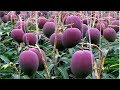 World's Most Expensive Mango - Awesome Japan Agriculture Technology Farm