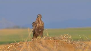 Long-legged buzzard vs. Buxton