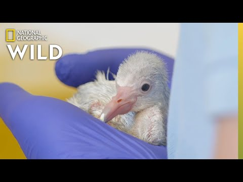 Flamingo Chick Check-Up | Secrets of the Zoo