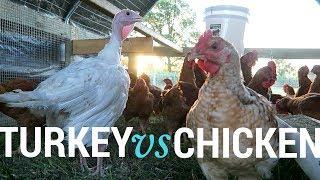 Turkey vs Chicken
