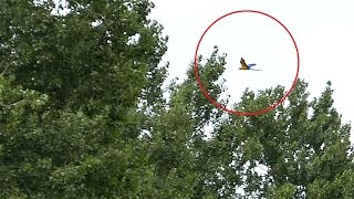 Germany - Harness Breaks and Parrot Flies Away