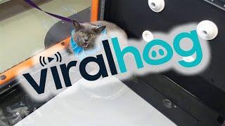 Отлынивающая от тренировок толстая кошка покорила интернет видео