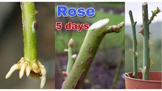 How To Grow Rose Form Cuttings.