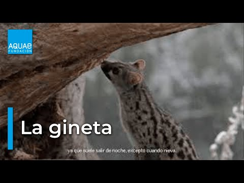 Clip Natura: La Cola de la Gineta