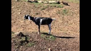 animale capra urla