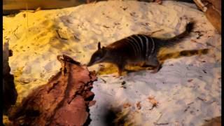 Endangered Animals: Numbat