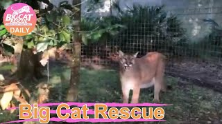 Big Cat Rescue Home Tour: Ares Cougar