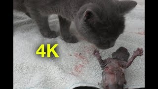 Pregnant cat giving birth to 3 kittens 2018 - 4K