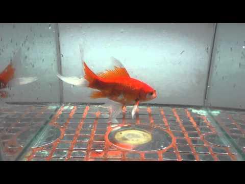 庄内金魚 1000 6