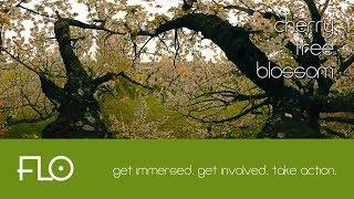 012 - Cherry Tree Blossom