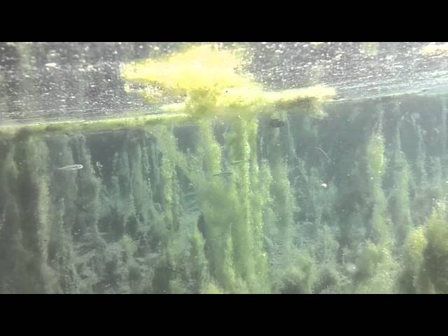 Underwater footage of tropical fish in Kelly Warm Springs Gros Ventre Road Wyoming