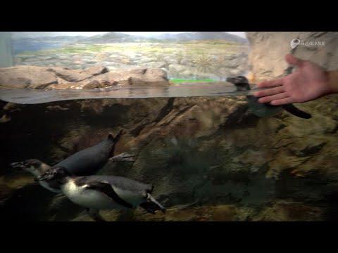 3羽のフンボルトペンギン愛称は「コウ」「ウメ」「ソラ」に決定!