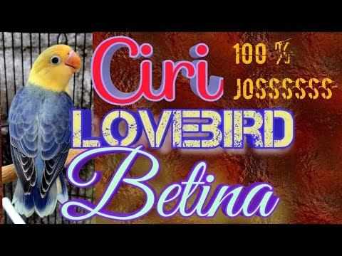 Tips Mengetahui Jenis Kelamin Lovebird Betina✓✓✓ 100% Dijamin Akurat