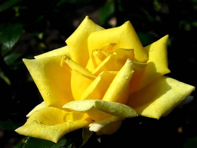 Роза Беролина. (Berolina).