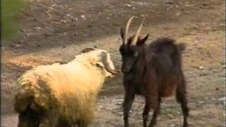 Умный козёл