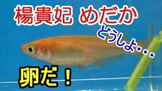 メダカの繁殖『楊貴妃』20匹水槽に入れる!【メダカ水槽#5】
