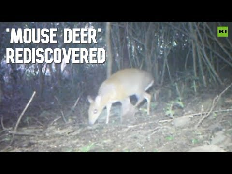 'Mouse deer' rediscovered in Vietnam after no sightings for almost 30yrs