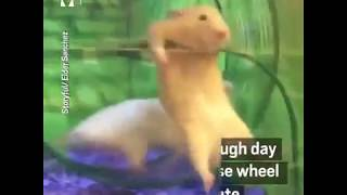Funny Hamster In Wheel Fail