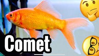 Comet Goldfish Tank Care & Growth - Common?
