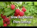 How To Grow Raspberry Bushes From Cuttings: Easy and Free@