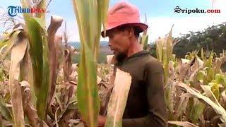 Petani OKU Selatan Kehilangan 3 Ton Jagung
