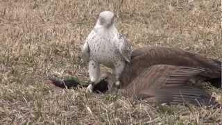 Gyrfalcon female takes Canada goose