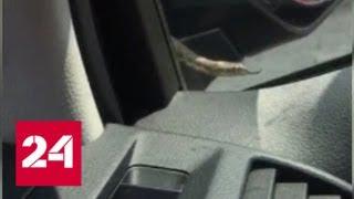 Зайцем до Москвы: водитель обнаружил змею прямо на лобовом стекле - Россия 24