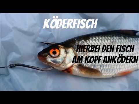 Angelköder für Einsteiger: Welcher Köder für welchen Fisch?