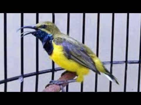 Pancingan ampuh burung sogok ontong cepat emosi dan naik birahi