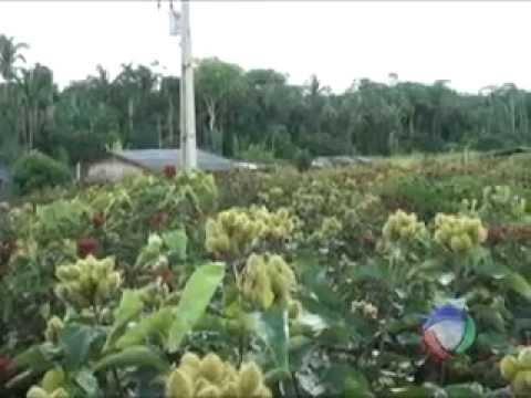 Plantação de Orucum em Cotriguaçu