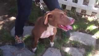 The Good Dog Minute 8/13/14: Using E-collar to transform pulling pit bull