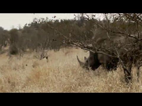 وحيد القرن يدافع عن صغيره بشجاعة في مواجهة لبوة... فيديو