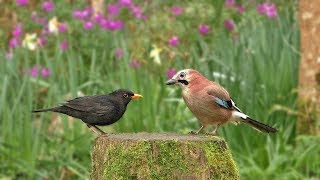 Relax Your Dog TV : Birds and Bird Sounds in The Flower Garden - 8 HOURS