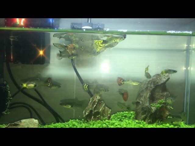 Guppy Fishes Aquascape