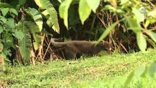 El libro rojo, Especies amenazadas - La nutria, el jaguaroundi y el oso hormiguero