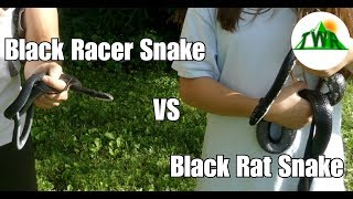 Black Rat Snake vs. Black Racer Snake! (What's the difference?)