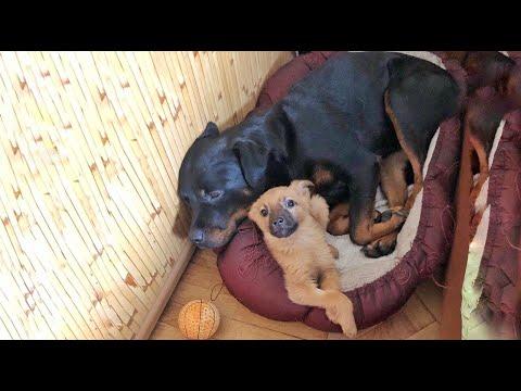 Rottweiler adopteert zwerfpuppy en maakt zijn leven gelukkig